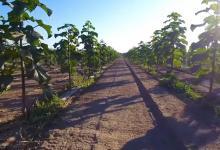 Павловния: как выращивать в промышленных масштабах бизнес на быстрорастущих деревьях