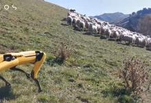 Автономное фермерство: робот-собака Spot научился пасти овец и следить за урожаем (видео)