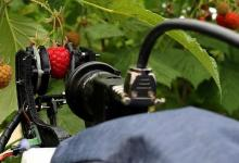 Видео: робот-сборщик малины будет работать на европейских фермах