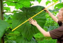 Супер-дерево Павловния: ученые работают над выведением нового вида для Украины