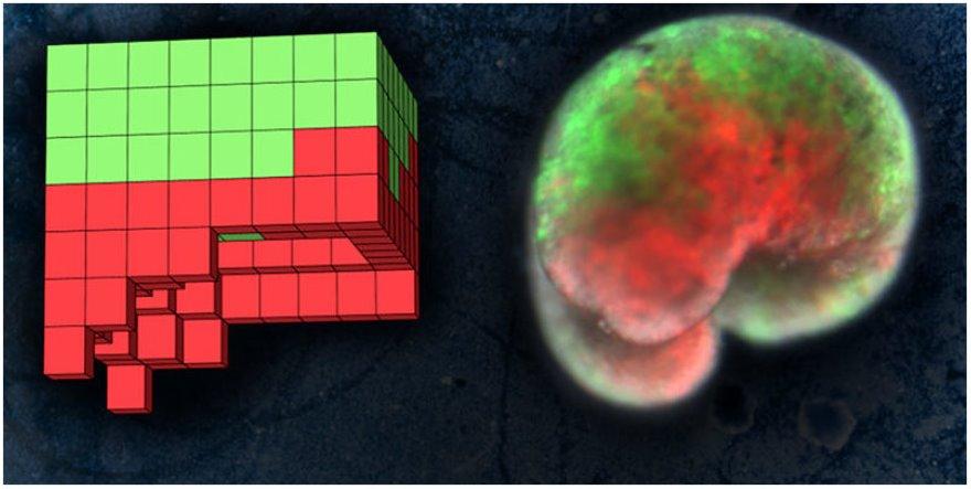 Первые роботы (ксеноботы) из живых клеток используют клетки лягушки (видео)