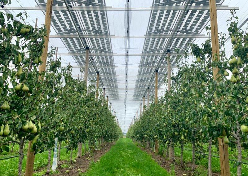 Как солнечную электростанцию объединить с грушевым садом - опыт бельгийских фермеров-энергетиков