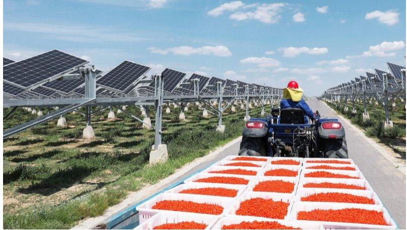 Китайская солнечная станция-плантация на 1 ГВт производит и электричество и ягоды годжи