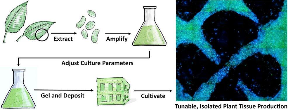 Создание растительных тканей в лаборатории