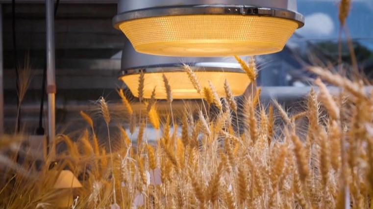 Сверхбыстрое выращивание урожая пшеницы