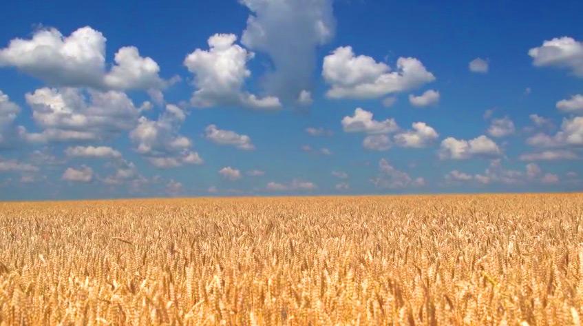 Пшеничное поле урожай