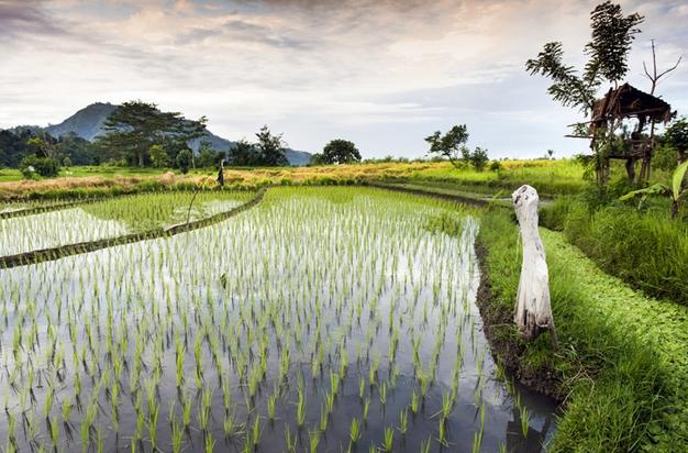 Новый источник электроэнергии - рисовое поле
